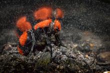 Velvet Ant -Cow Killer Wasp- Close Up
