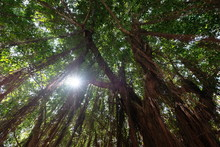 Look Up At Big Tall Giant Banyan Trees. Green Leaves. Long Brown Dense Aerial Roots Hairs Suspend From Branches. Bright Sunshine Through Leaves. Banian. Ficus Microcarpa