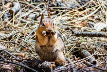Frontal View Of Cute Chipmunk Eating Seeds From The Ground, Yosemite National Park, California