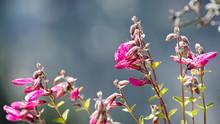 Close Up Of Mountain Pride (Penstemon Newberryi) Wildflowers Blooming In Yosemite National Park, Sierra Nevada Mountains, California