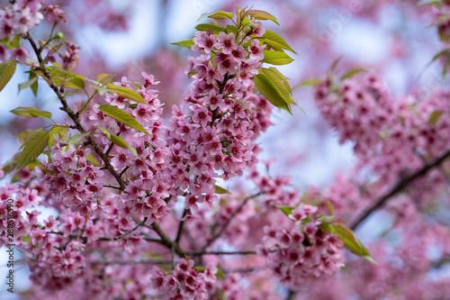 Beautiful Pink Cherry Blossom Flowers Thai Sakura Blooming