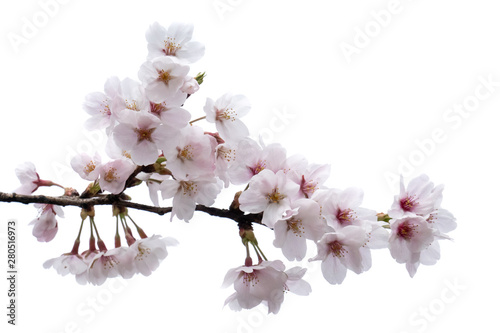 Cherry blossom, sakura branch with flowers isolated on white background Wallpaper Mural