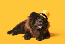 Cute Chow-Chow Dog Wearing Hat...
