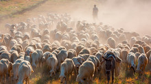 Herd Of Sheep Grazing On The Hills