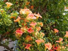 Campsis Grandiflora - Chinese ...