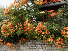 Chinese Trumpet Vine Or Chines...