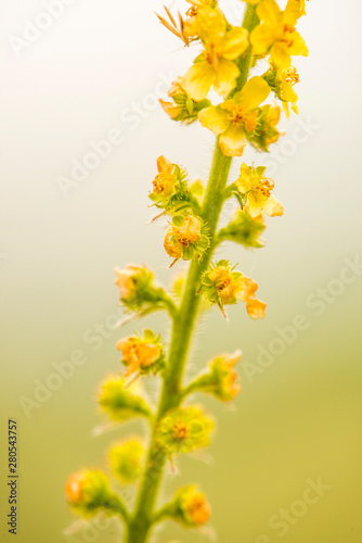 common agrimony with flower in summer Canvas Print