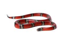 Red-black Milk Snake Isolated ...