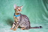 Fototapeta Sawanna - Savannah cat lying on a turquoise background