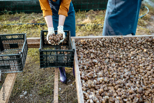 Farmers packing fresh snails for sell into the boxes on a farm with snails, close-up with no face