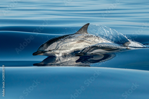 Fotografering striped Dolphins while jumping in the deep blue sea