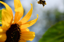 Bumblebee Flies Through The Air To A Large Yellow Sunflower Flower Close-up