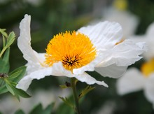 Close Up Of The Big White Flowers Of Coulter's Matilija Poppy Or California Tree Poppy (Romneya Coulteri) Native To Southern California