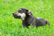 canvas print picture - puppy on the grass