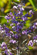 The Dainty Purple Flowers And Long-leaves Of A Hovea Longifolia(Rusty Pods) Shrub - A Detail Of Part Of The Plant, Taken In Dappled Light With A Green Background.