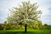 Beautiful Spring Blossoming Pe...