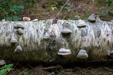 Polypore Close-up On Decaying Birch Tree Trunk