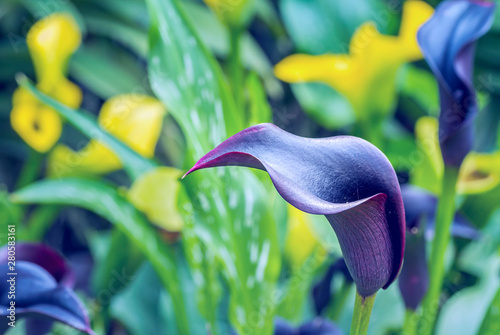 Canvas Print Close up of blue with purple color Calla lily in botanic flower garden