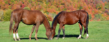 Young Horse In Field In Fall S...