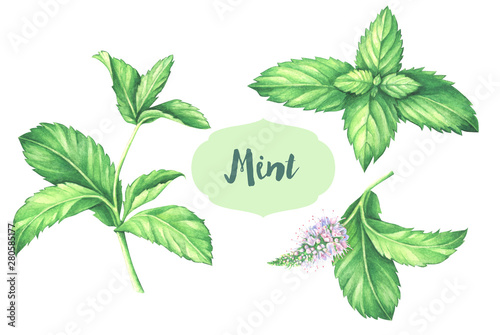 Obraz Watercolor mint collection. Mint leaf with mint flower isolated on white. - fototapety do salonu