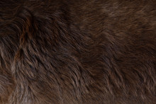 Close Up View Of The Felted Of Shiny Healthy Dog Dark Brown Hair Of Labrador Dog Curly Fur For A Background, Patterns Texture.