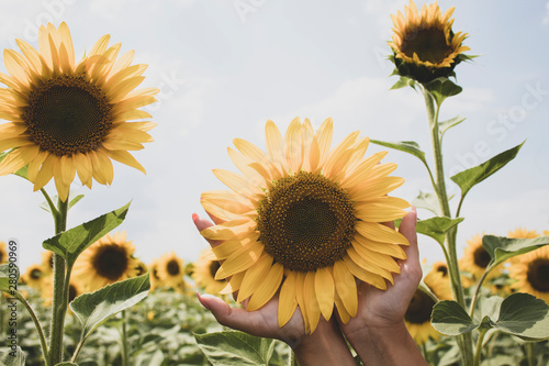 Fototapety, obrazy: Sunflower in female hands on a background of bright sky. Close-up. Beautiful natural background. There is a place for text. Lots of free space.