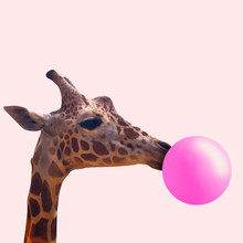 Creative Giraffe. Look Of Youth. Animal With The Pink Bubblegum On Coral Background. Negative Space To Insert Your Text. Modern Design. Contemporary Art. Creative Conceptual And Colorful Collage.