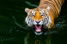 Close-up Photos While The Tiger Is Playing In The Water