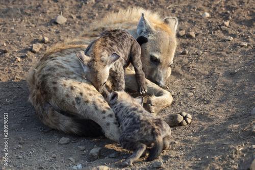 Spoed Foto op Canvas Hyena Tüpfelhyäne / Spotted Hyaena / Crocuta crocuta.