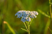 Close Up Common Yarrow (achill...