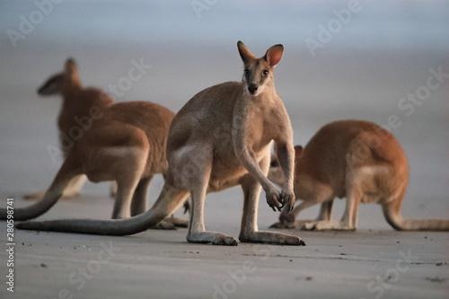 In de dag Kangoeroe kangaroo on beach, mackay, north queensland, australia
