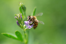 Honey Bee Pollinates Alfalfa F...