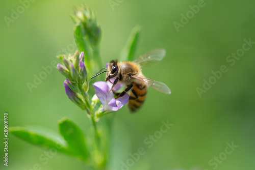 Honey bee pollinates alfalfa flower on natural background Wallpaper Mural