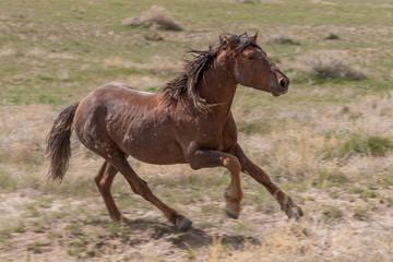 Wild Horse in the Utah Desert in Summer