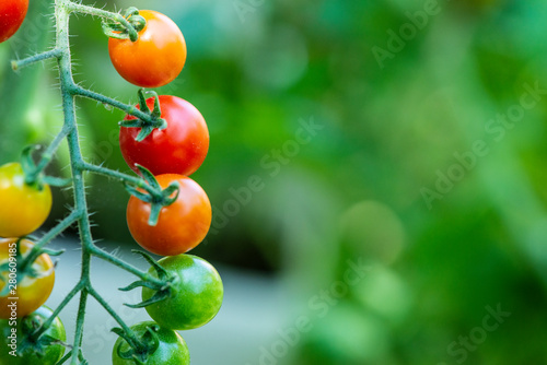Cherry tomatoes in small organic farm. Bio vegetable concept. Home garden.