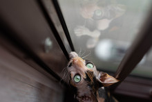 Sphinx Cat Hunts Near The Window