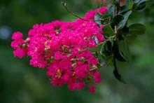 CRAPE MYRTLE Red Blooming Tree