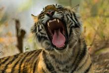 Head Shot Of A Yawning Juvenil...