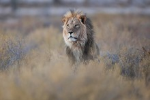 Lion (Panthera Leo), Male, Kgalagadi Transfrontier Park, Northern Cape, South Africa, Africa