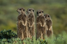 Four Meerkats (Suricata Suricatta), Oudtshoorn, Little Karoo, Western Cape, South Africa, Africa