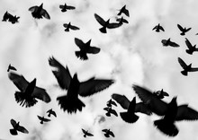 Flock Of Birds, Flying Pigeons, Amsterdam Dam, Netherlands