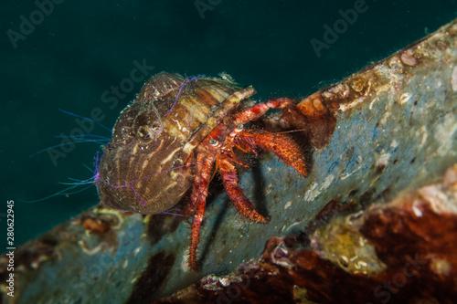 Fotomural Dardanus calidus is a species of hermit crab from the East Atlantic (Portugal to