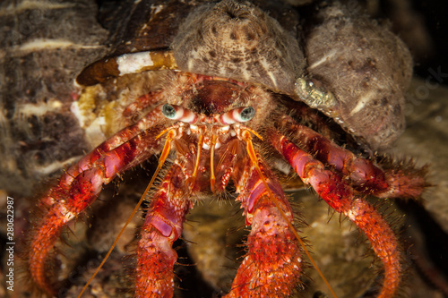 Dardanus calidus is a species of hermit crab from the East Atlantic (Portugal to Canvas Print