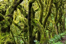Mossy Tree Branches In A Laure...