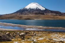 Llama (Lama Glama) In Front Of...