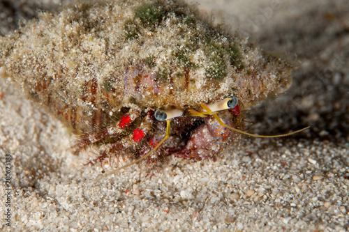 Cuadros en Lienzo Hermit crab, is a species of marine hermit crab