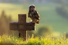 Eurasian Eagle-owl (Bubo Bubo), Captive, Sitting On Cross, Vulkaneifel, Germany, Europe