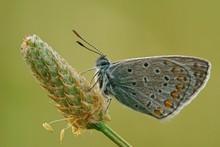 Common Blue (Polyommatus Icaru...