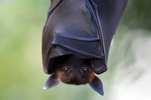 Indian Flying Fox Or Greater I...