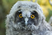 Portrait Of A Young Long-eared Owl (Asio Otus)